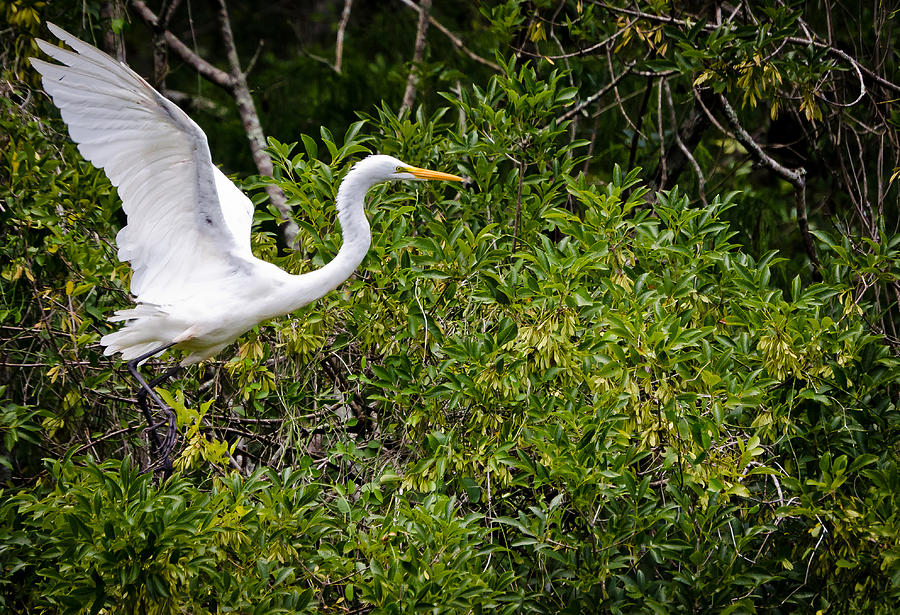 Great Photograph - Great Egret by Mike Rivera