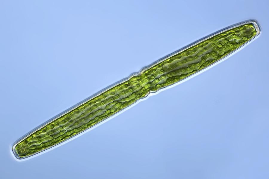 Algae Photograph - Green Alga, Light Micrograph by Frank Fox