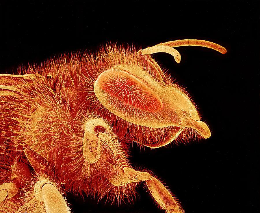 Apis Mellifera Photograph - Honey Bee, Sem by Susumu Nishinaga