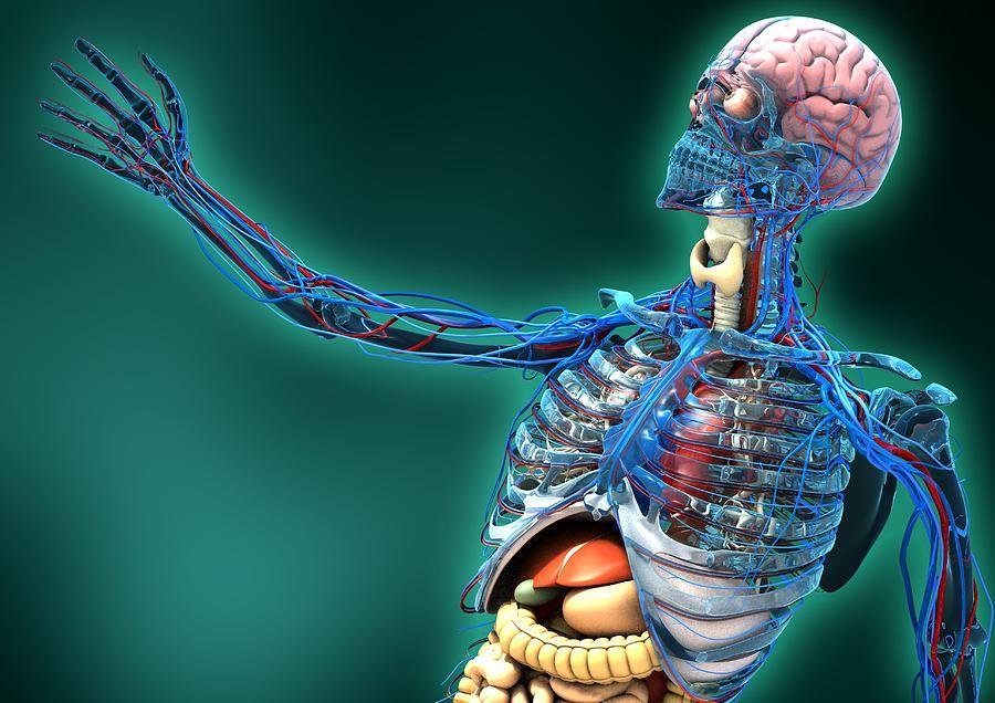 Human Body Photograph - Human Anatomy, Artwork by Carl Goodman