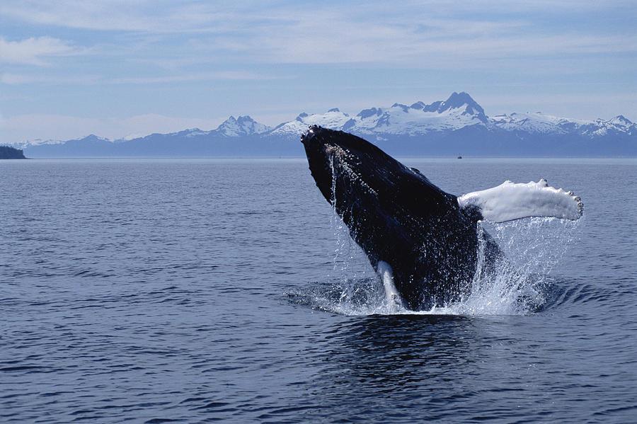 Humpback Whale Megaptera Novaeangliae Photograph by Flip  Nicklin