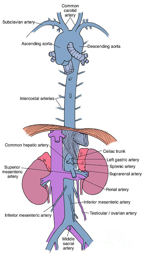 Anatomy Photograph - Illustration Of Aorta And Branches by Science Source