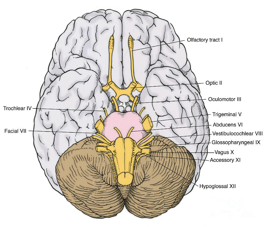 Illustration Of Cranial Nerves Photograph by Science Source