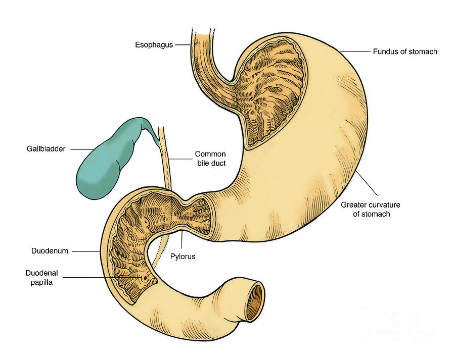 Illustration Of Stomach And Duodenum Photograph by Science Source