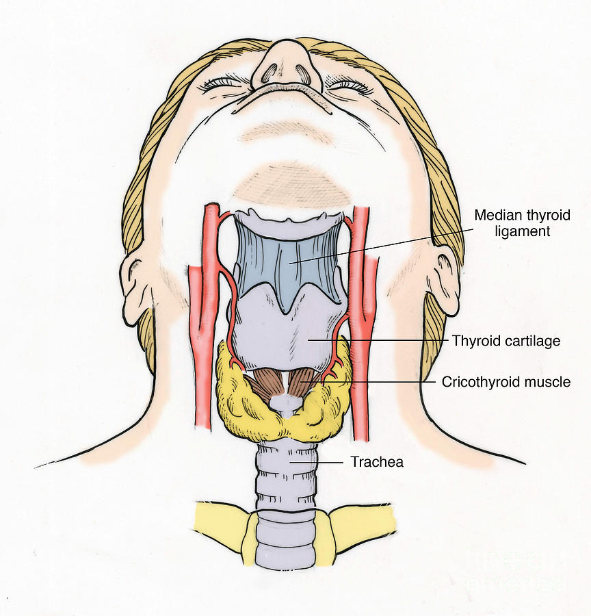 Illustration Of Throat Anatomy Photograph By Science Source