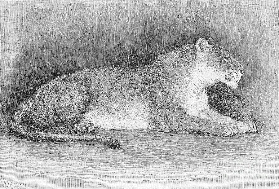 Biology Photograph - Lion by Granger