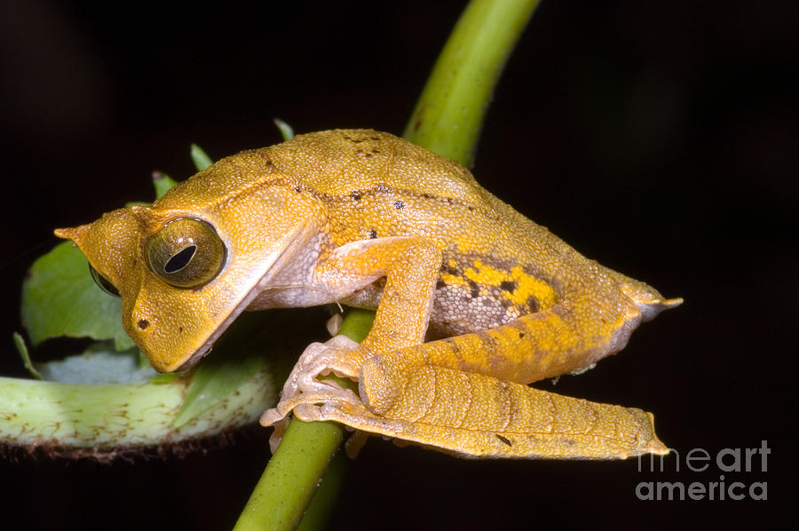 Nature Photograph - Marsupial Frog by Dante Fenolio