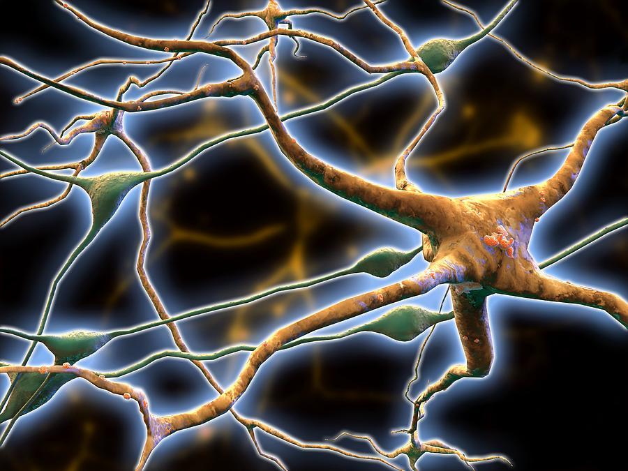Nerve Cell Photograph - Nerve Cells, Computer Artwork by Pasieka
