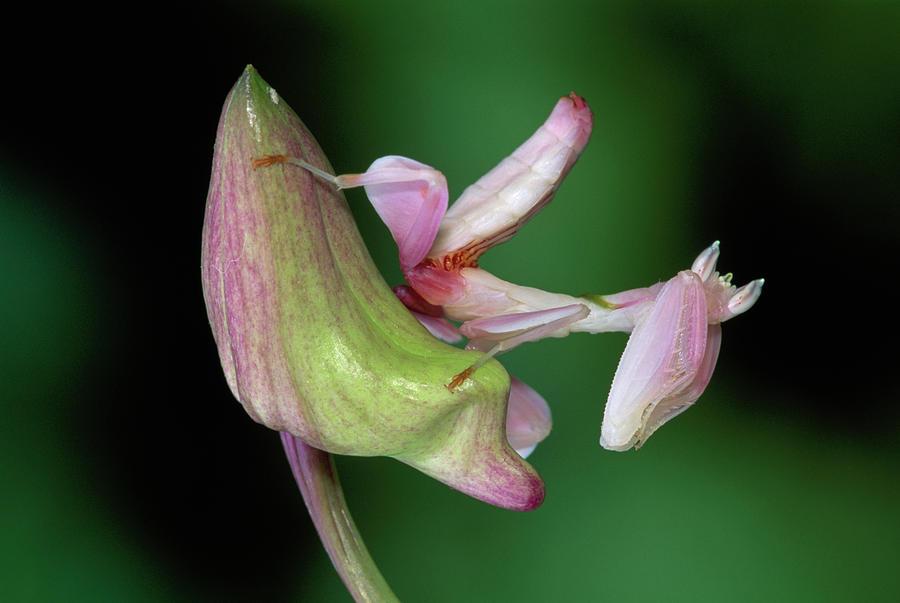 Mp Photograph - Orchid Mantis Hymenopus Coronatus by Thomas Marent