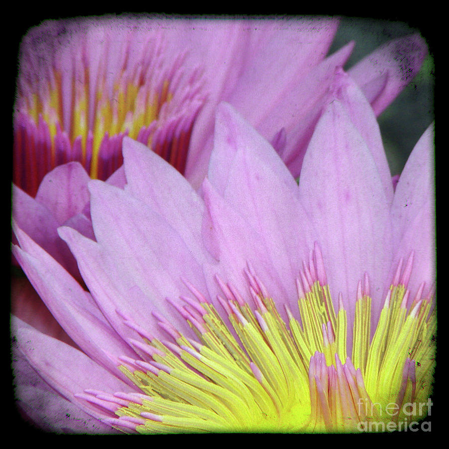 Water Lily Mixed Media - Photography Floral Art  by Ricki Mountain
