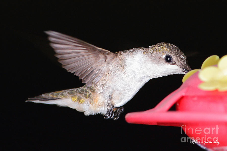 Hummingbird Photograph - Ruby Throated Hummingbird by Steve Javorsky