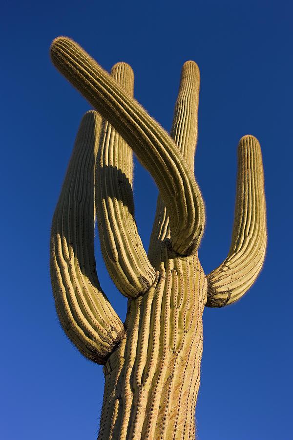 Saguaro Carnegiea Gigantea Cactus Photograph by Ingo Arndt