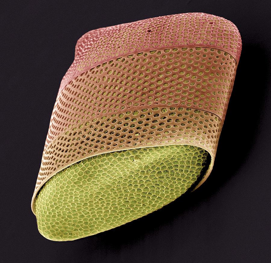 Plant Photograph - Diatom Alga, Sem by Steve Gschmeissner