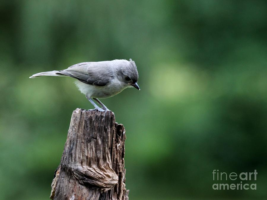 Nature Photograph - Tufted Titmouse by Jack R Brock