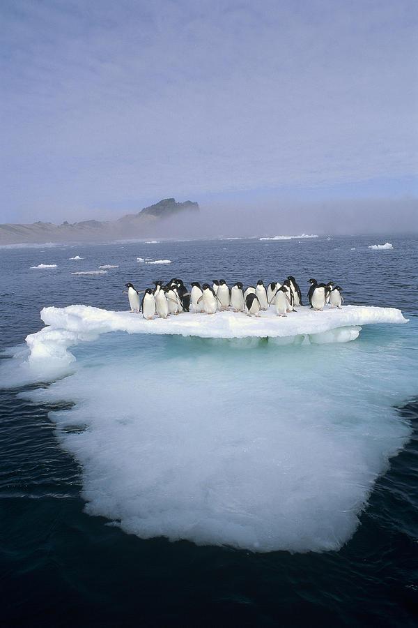 Adelie Penguin Pygoscelis Adeliae Group Photograph by Tui De Roy