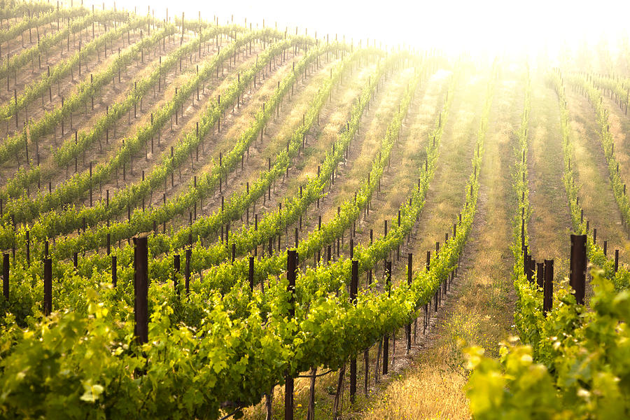 Beautiful Lush Grape Vineyard Photograph By Andy Dean