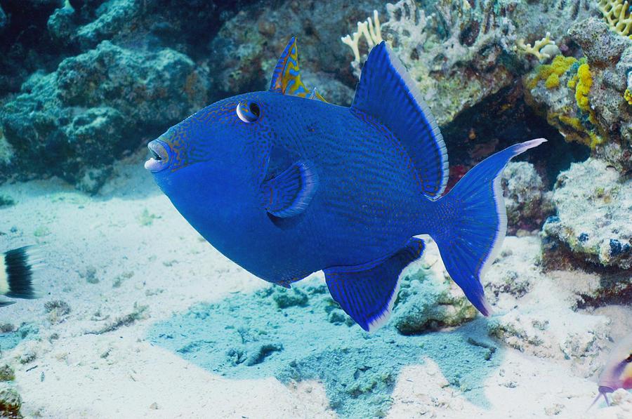 Pseudobalistes Fuscus Photograph - Blue Triggerfish by Georgette Douwma