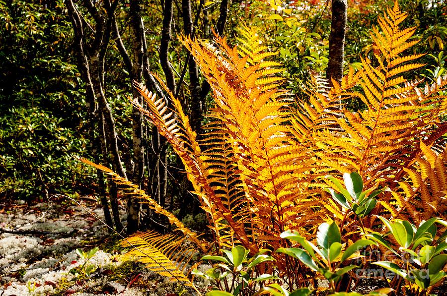 Autumn Photograph - Fall Color Fern by Thomas R Fletcher