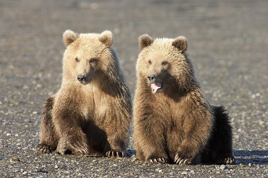 Mp Photograph - Grizzly Bear Ursus Arctos Horribilis by Matthias Breiter
