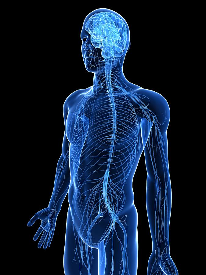 Human Nervous System, Artwork Photograph by Sciepro