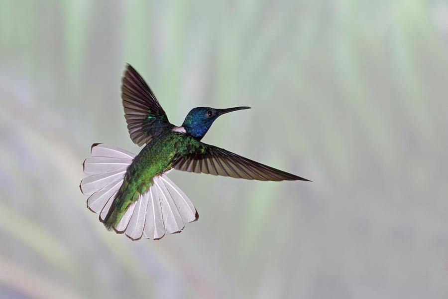 Horizontal Photograph - Hummingbird by David Tipling