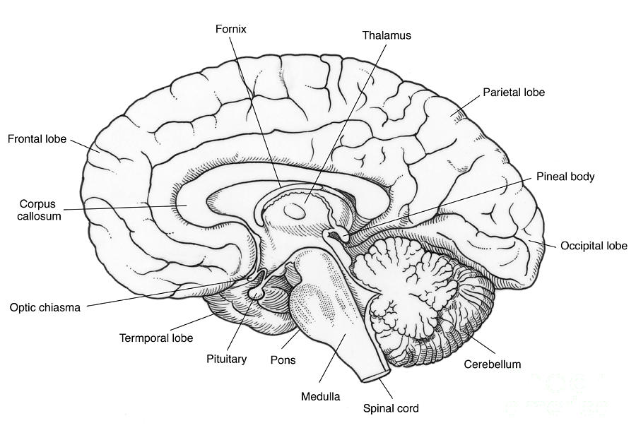 illustration of human brain photograph by science source