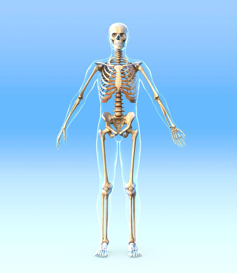 Human Photograph - Male Skeleton, Artwork by Roger Harris