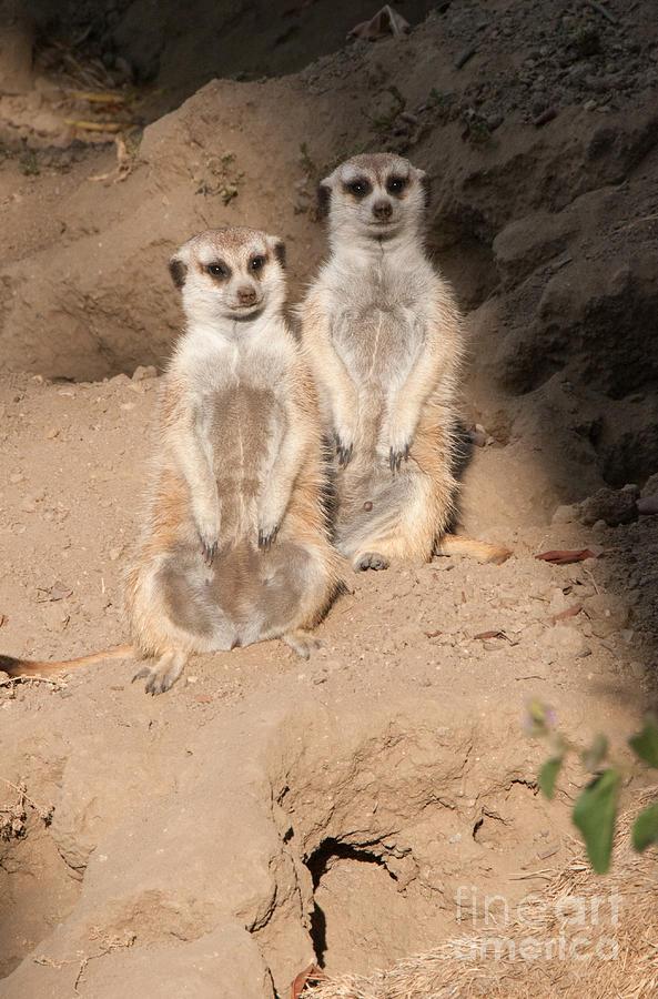 Animals Digital Art - Meerkat by Carol Ailles