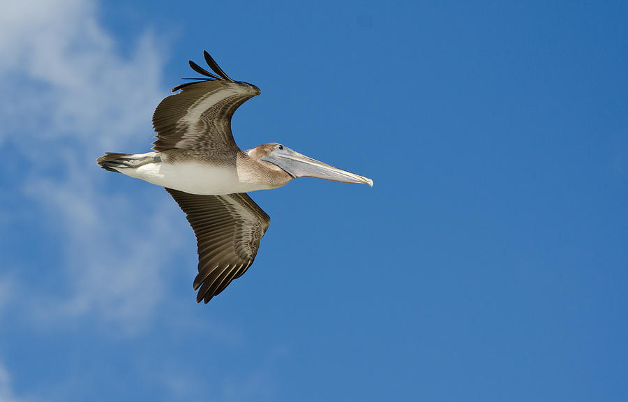 Pelican Photograph - Pelican by Mike Rivera