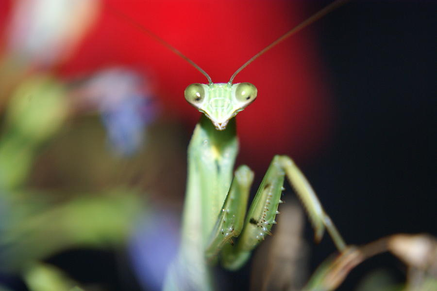 Insect Photograph - Praying Mantis by Heidi Poulin