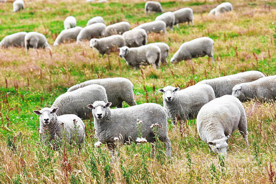 Sheep Photograph - Sheeps by MotHaiBaPhoto Prints