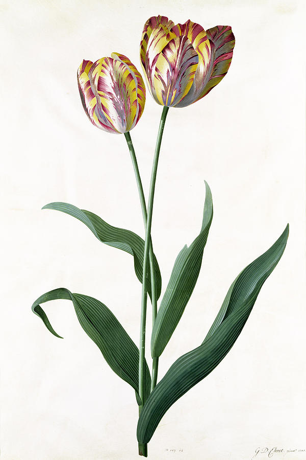 Tulip Painting - 5 Tulip Tulip  by Georg Dionysius Ehret