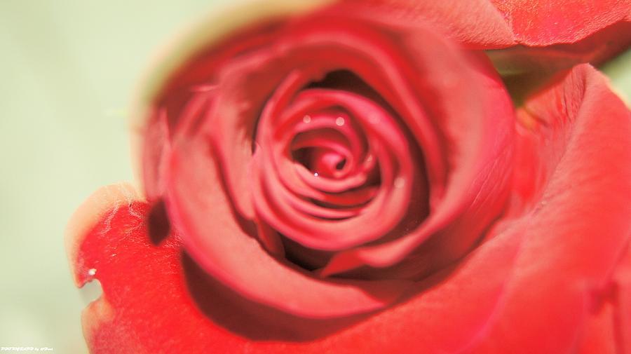 Rose For You Photograph by Gornganogphatchara Kalapun