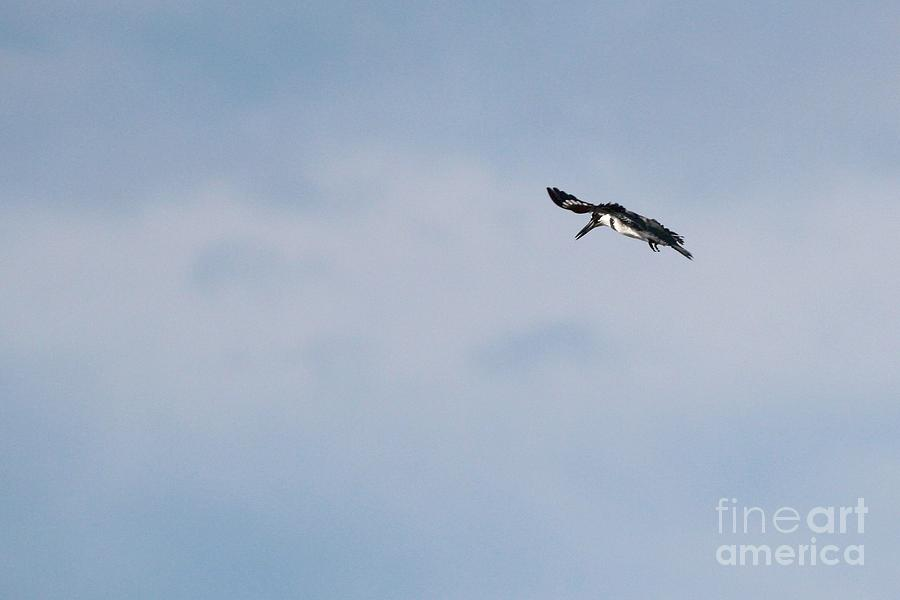 Nature Photograph - Belted Kingfisher by Jack R Brock