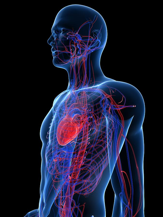 Artwork Photograph - Cardiovascular System, Artwork by Sciepro