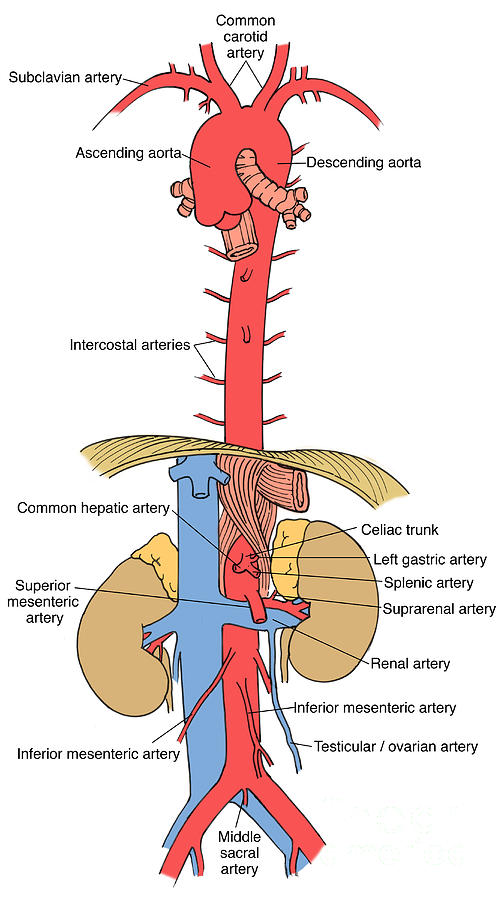 Illustration Of Aorta And Branches Photograph by Science Source