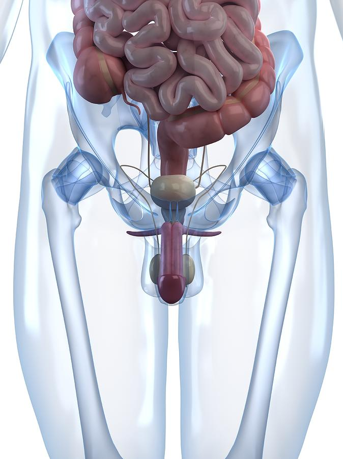 Vertical Digital Art - Male Reproductive System, Artwork by Sciepro
