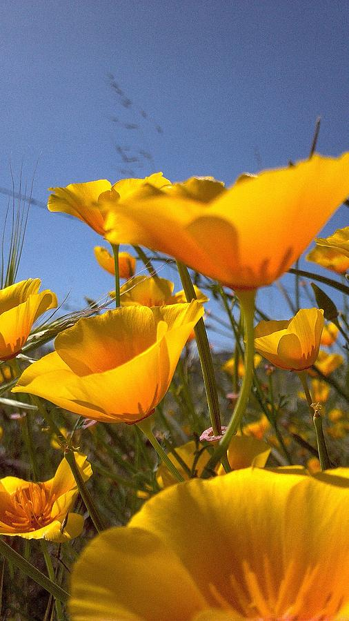 Poppies Photograph by JoAnne  Word