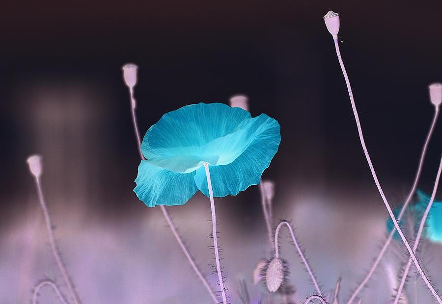 Poppy Digital Art