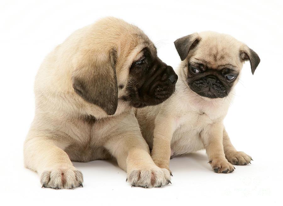 Animal Photograph - Pug And English Mastiff Puppies by Jane Burton