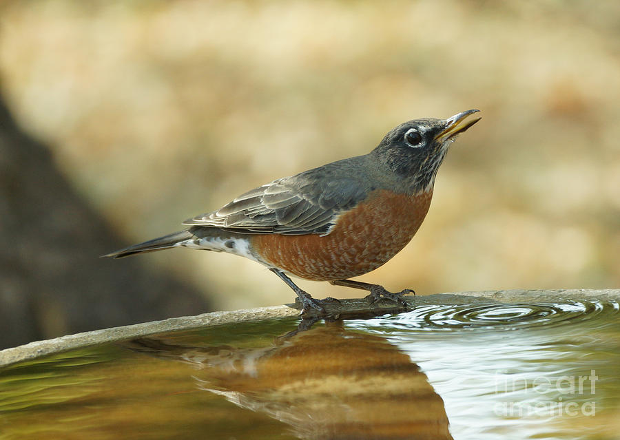 Birds Photograph - Robin by Lori Tordsen