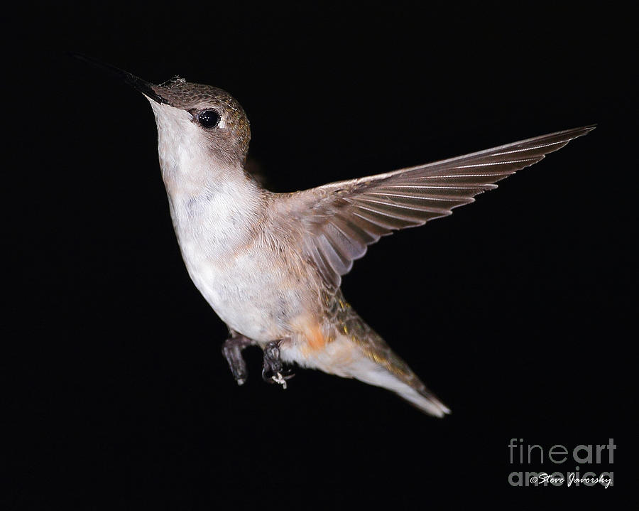 Hummingbird Photograph - Ruby Throated Hummingbird by Steve Javorsky