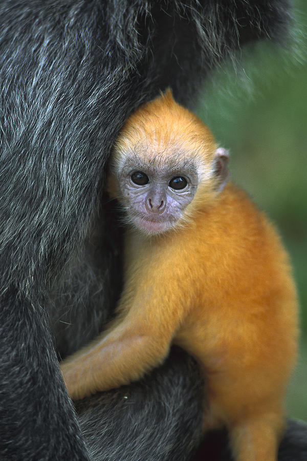 Silvered Leaf Monkey Trachypithecus Photograph by Cyril Ruoso