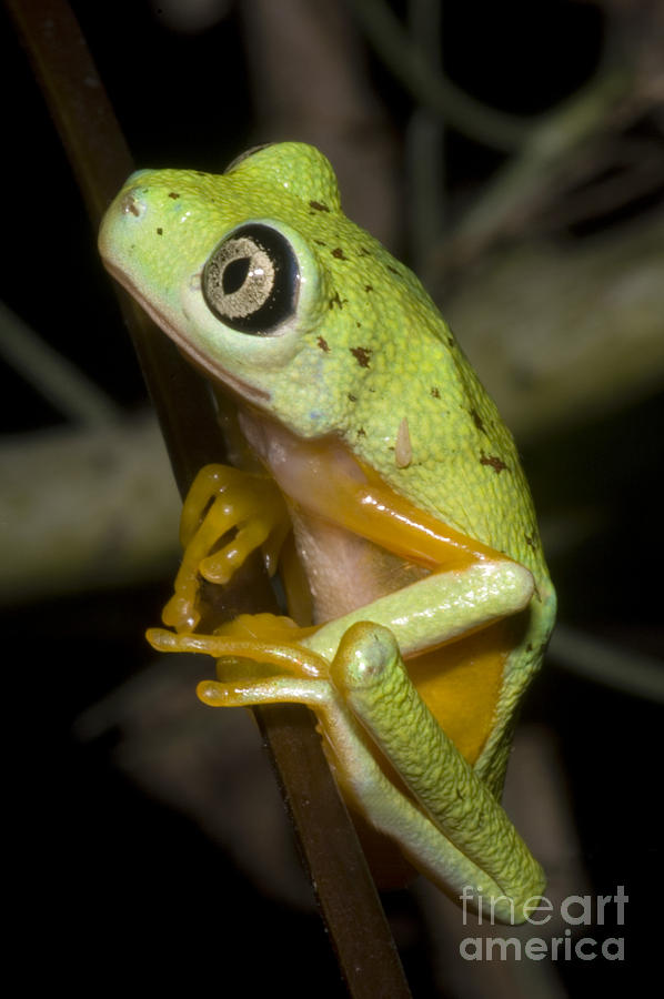 Hylomantis Lemur Photograph - Tree Frog by Dante Fenolio