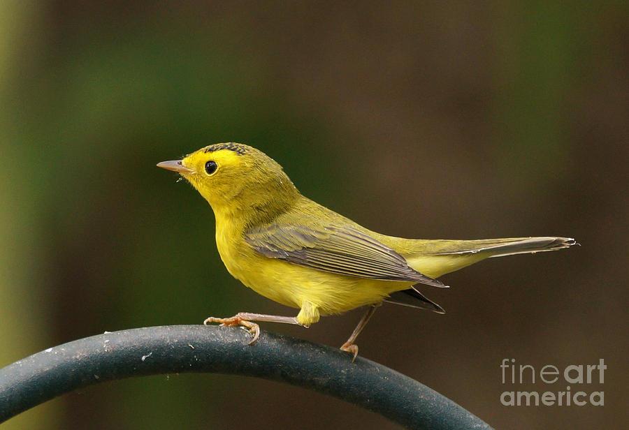 Birds Photograph - Wilsons Warbler by Lori Tordsen