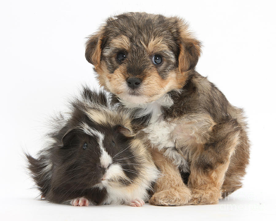 Nature Photograph - Yorkipoo Pup With Guinea Pig by Mark Taylor