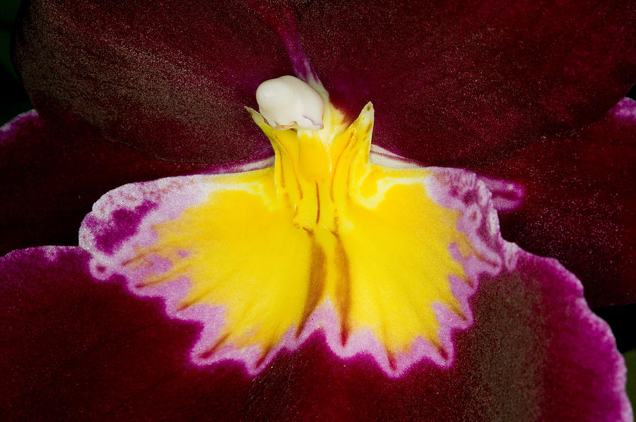 Orchid Photograph - Exotic Orchids Of C Ribet by C Ribet