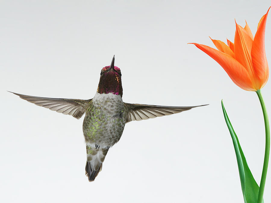 Annas Hummingbird Photograph by Thy Bun