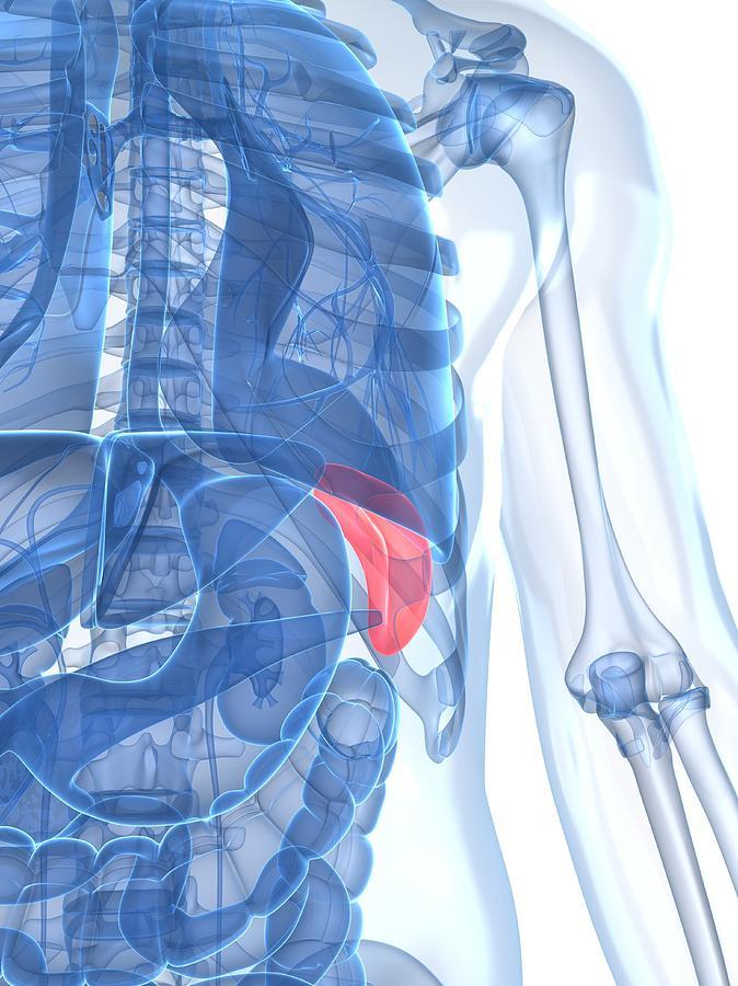 Vertical Digital Art - Healthy Spleen, Artwork by Sciepro