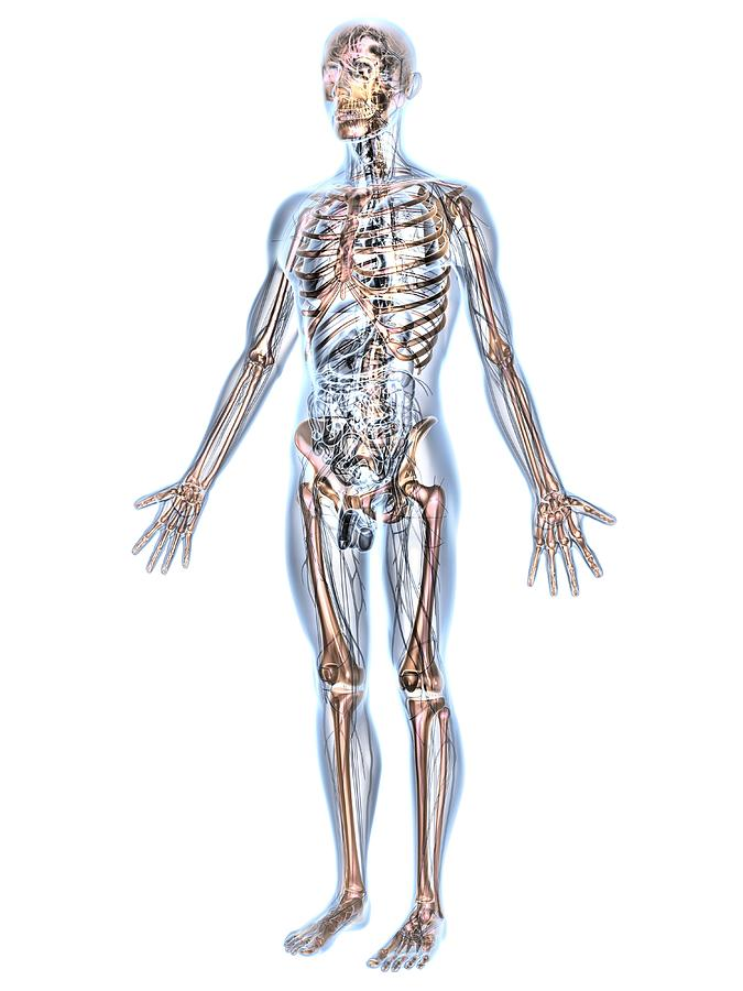 Human Male Anatomy, Artwork Photograph by Pasieka